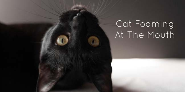 Cat Foaming At The Mouth - Causes and Treatment - Cat-World