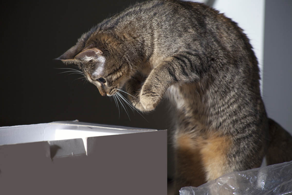 Cat jumping into a box