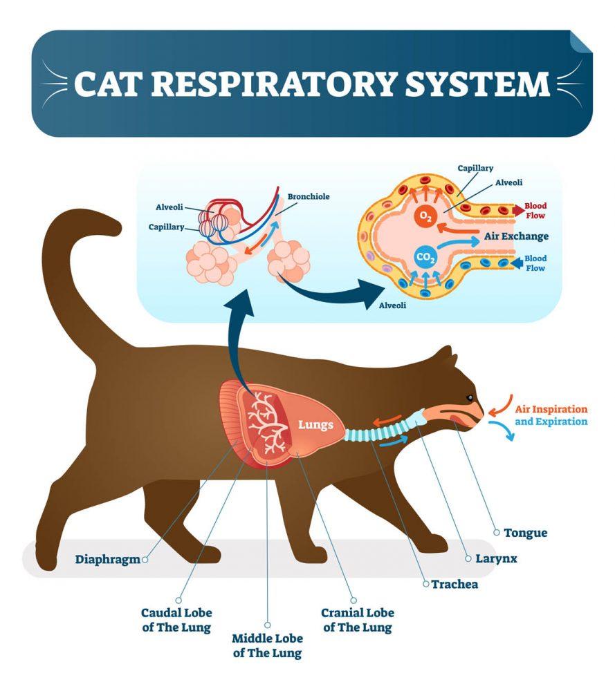Feline respiratory system