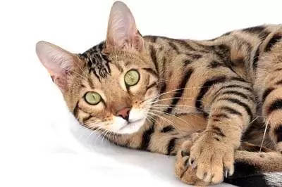 Cat weight