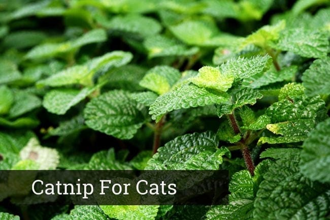 Catnip for cats