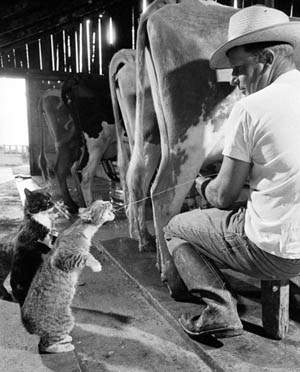 Cats drinking milk from cow