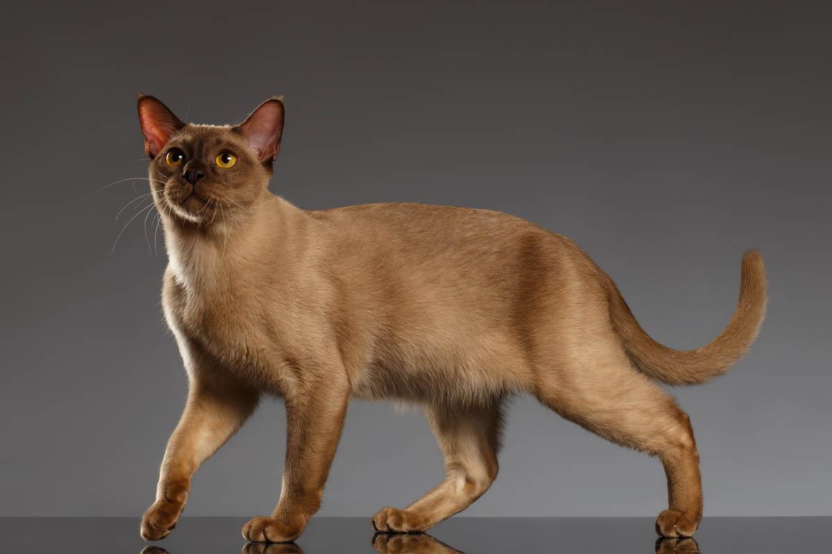 Chocolate (champagne) Burmese cat