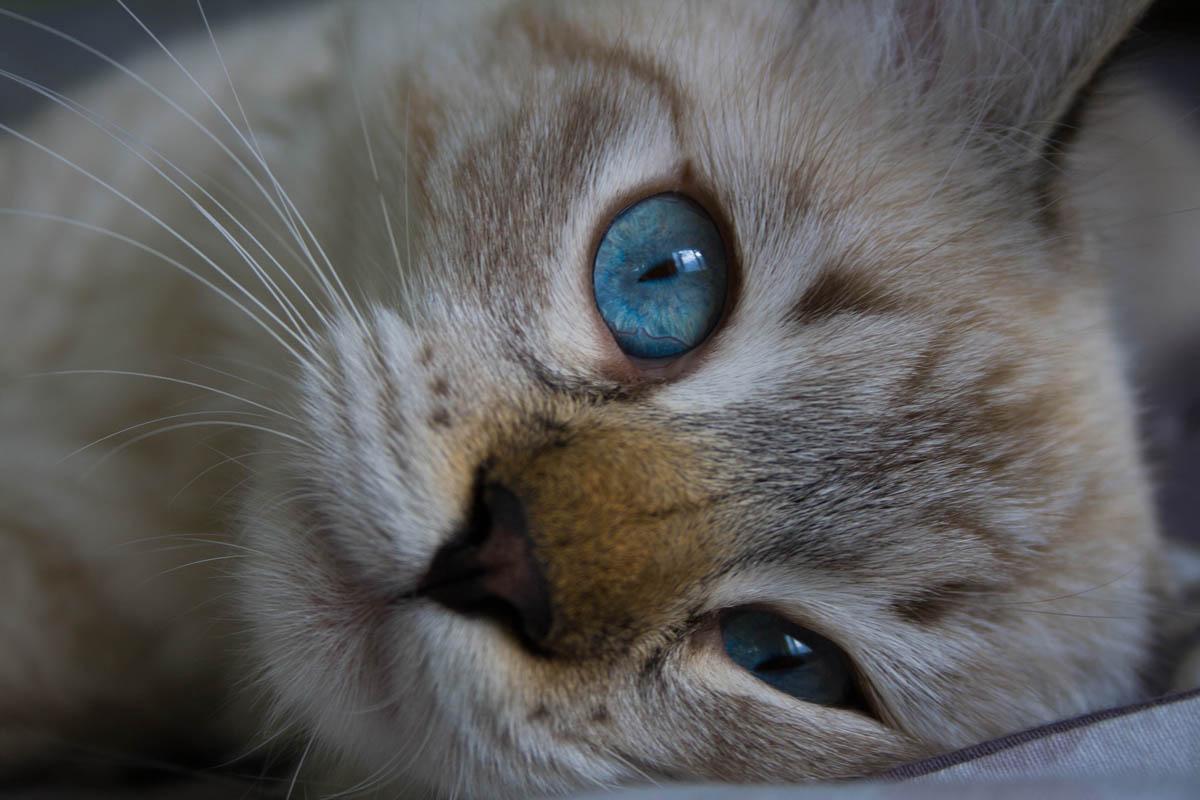 Congestive heart failure in cats