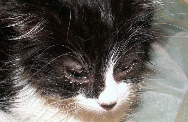Conjunctivitis in kitten