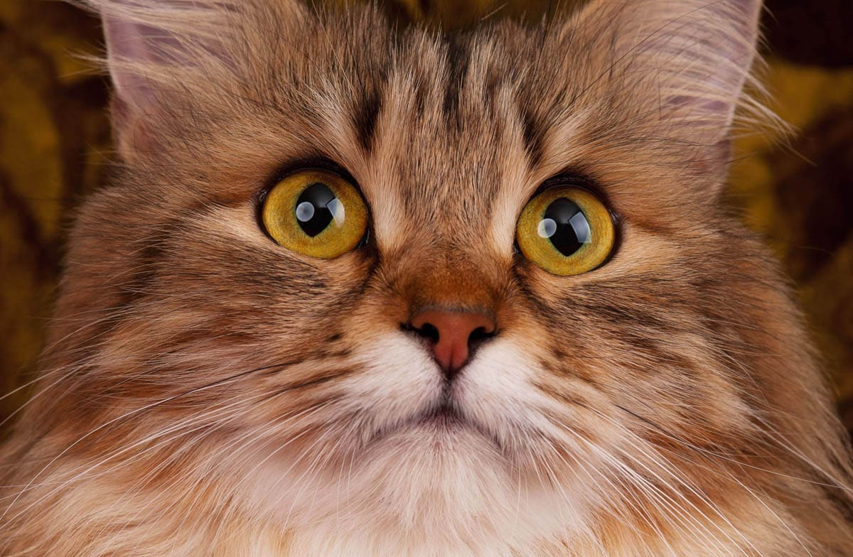 Corneal ulcer in cats