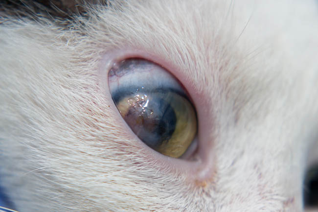 Corneal ulcer in cats