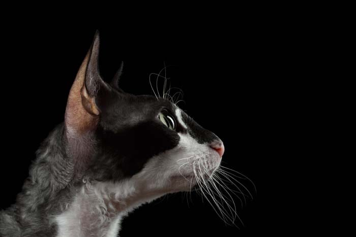 Close up of Cornish Rex cat