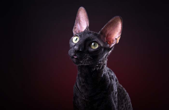 Cornish Rex Breed Profile 1