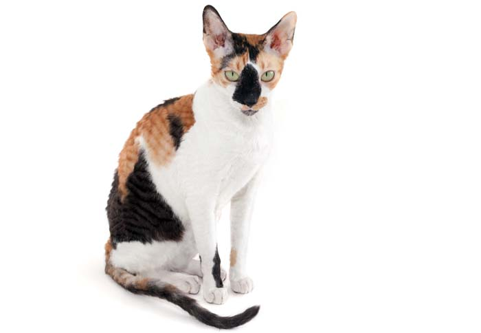 Calico Cornish Rex