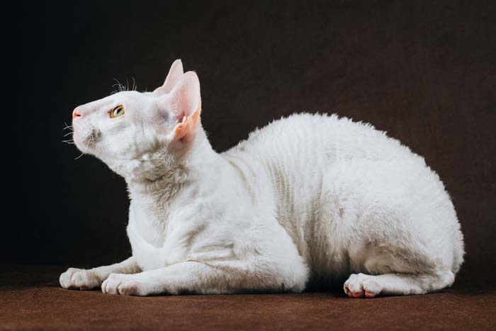 White Cornish Rex