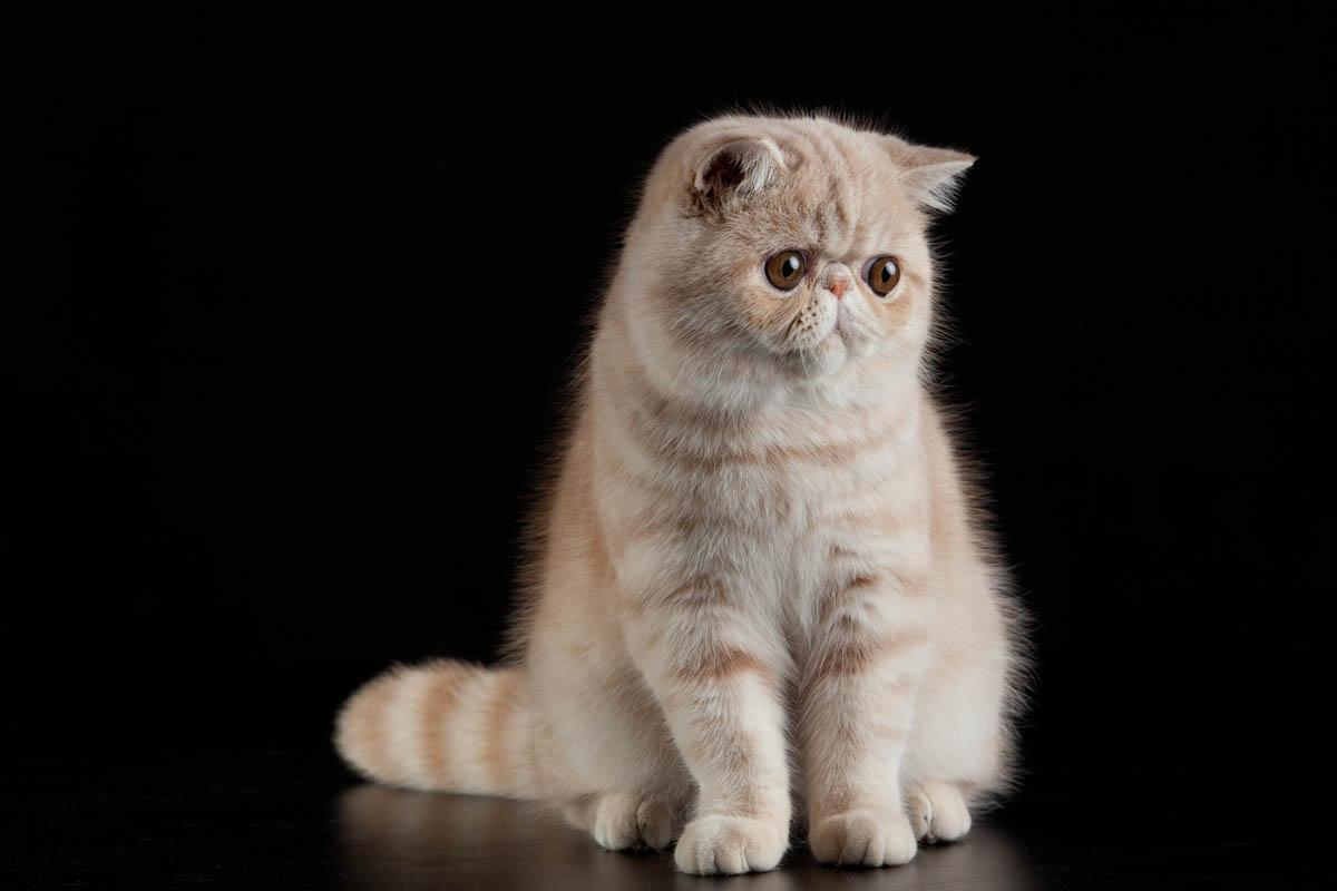Cream exotic shorthair cat