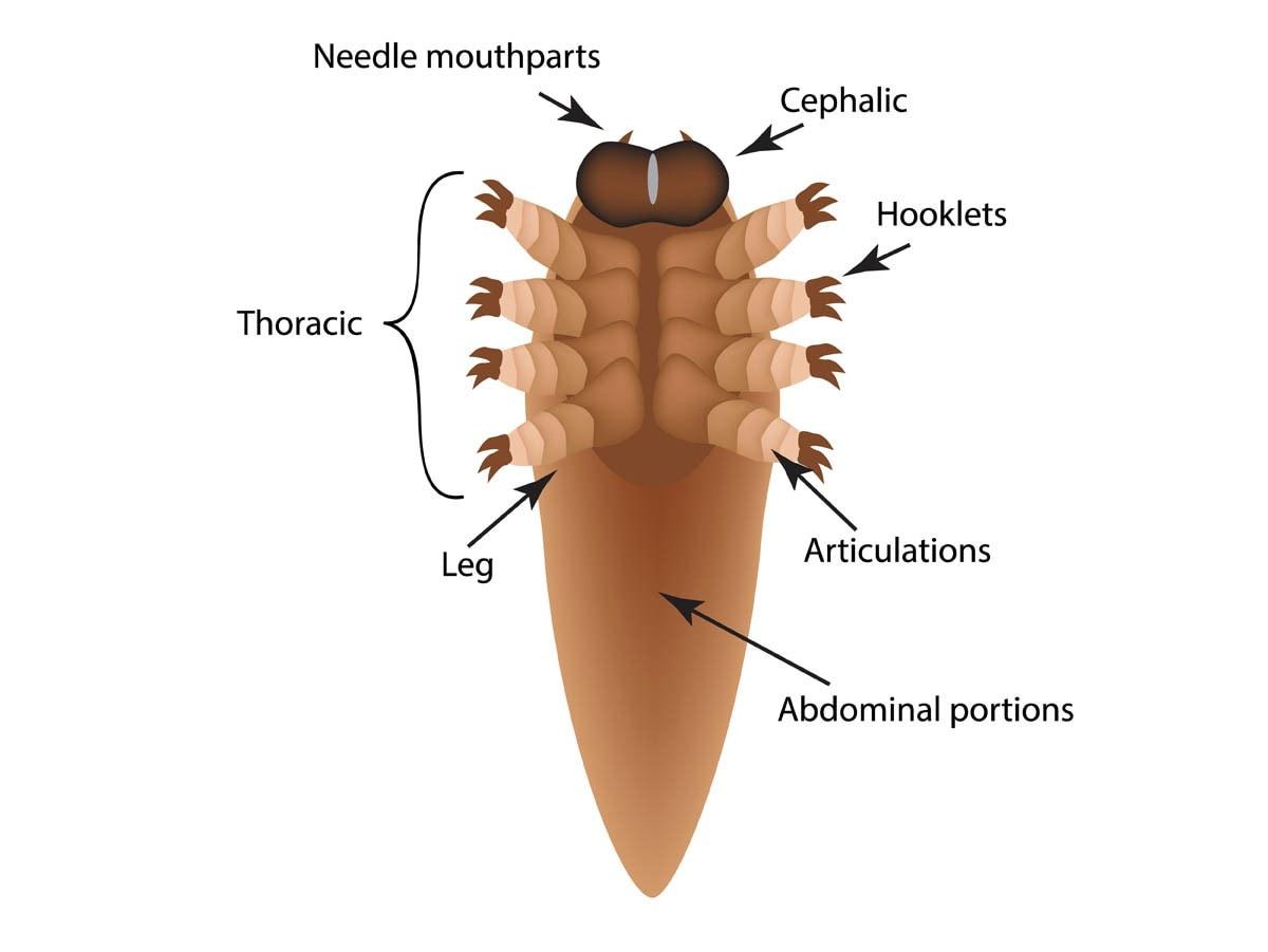 Demodex mite