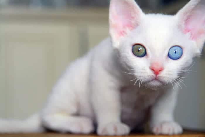 Devon Rex Breed Profile 1