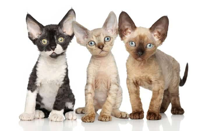 Group of Devon Rex kittens