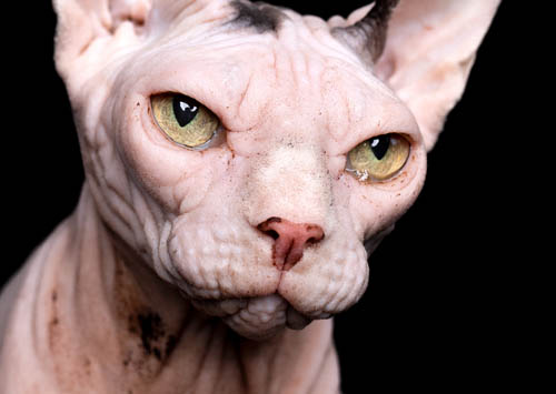 Build up of sebum on a Sphynx cat's skin