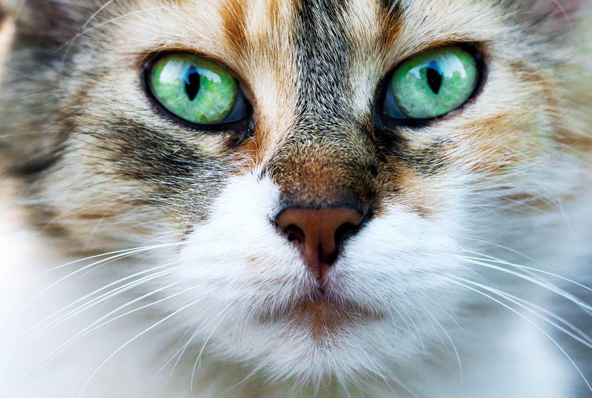 E. Coli in cats