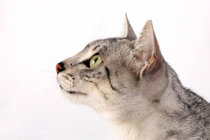 Egyptian Mau Breed Profile 1