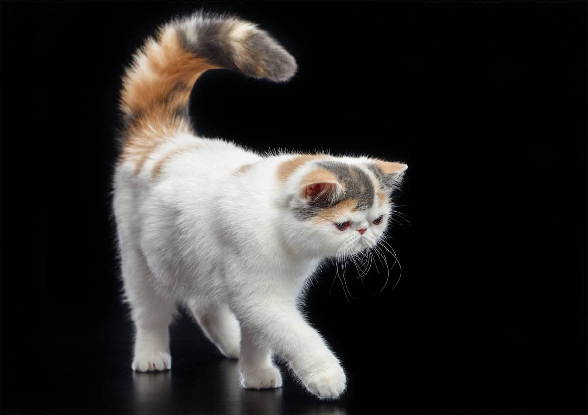 Exotic Shorthair breed profile