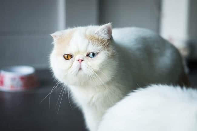Odd-eyed Exotic shorthair