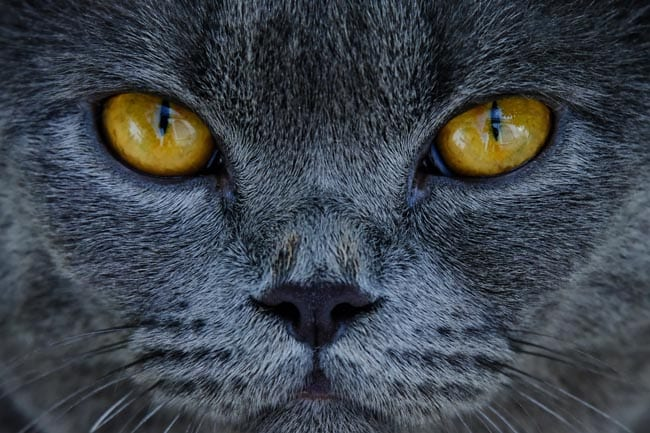 Eye swelling in cats