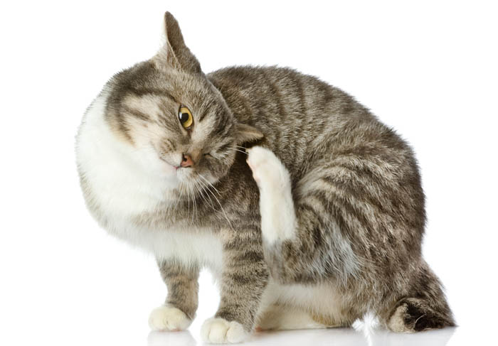 Flea transmitted diseases in cats