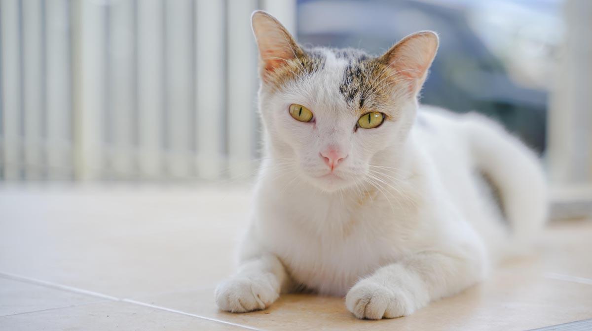 Folliculitis in cats