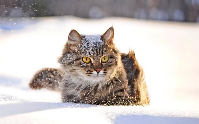 Frostbite in cats