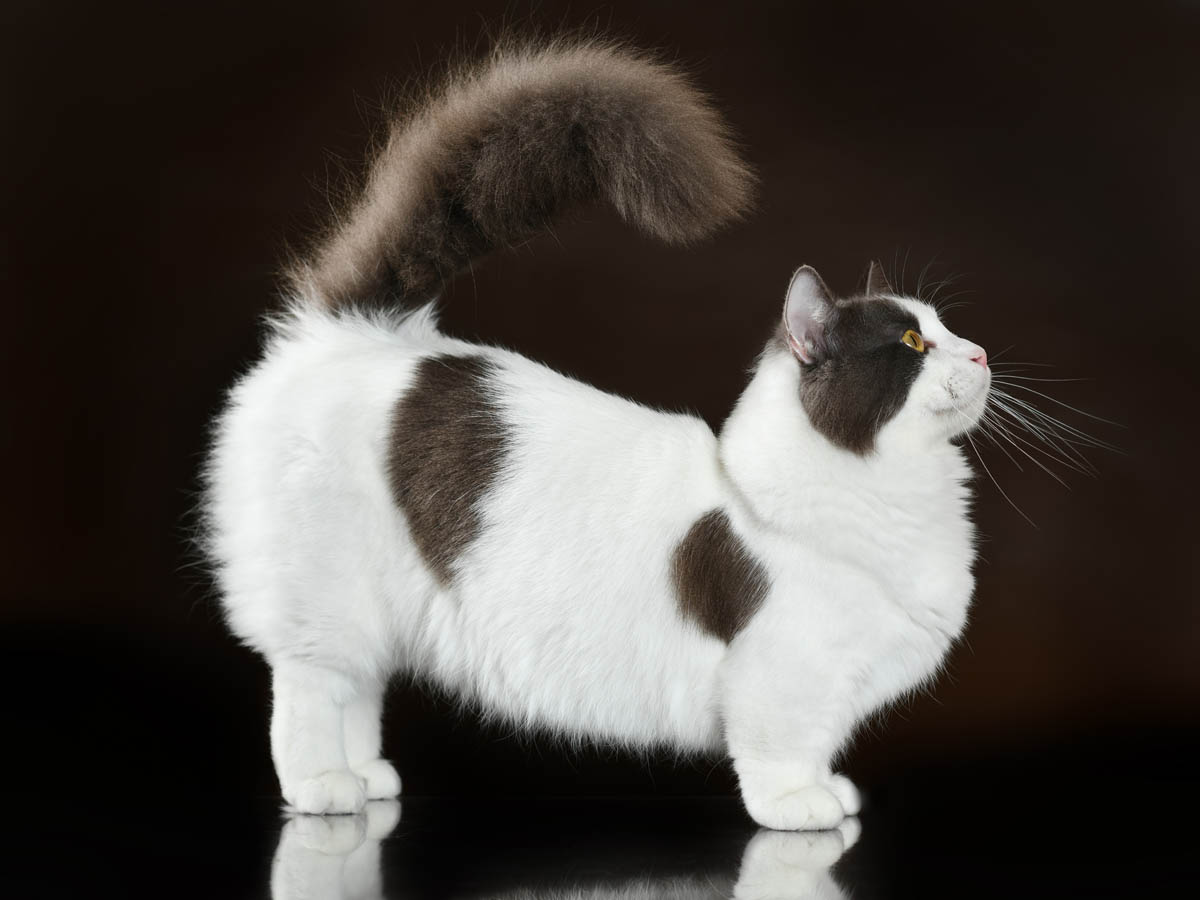 Grey and white Munchkin cat