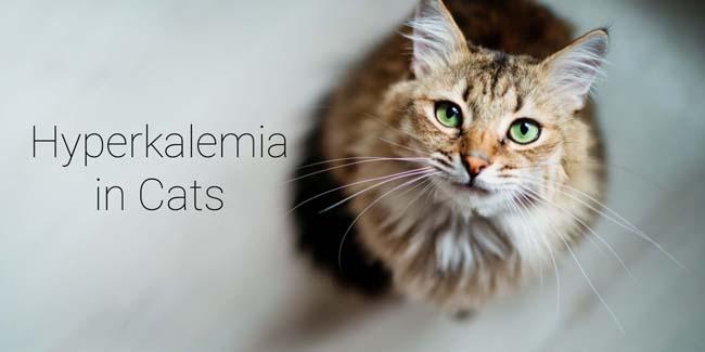 Hyperkalemia in cats
