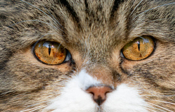 Brown spots in cat's eyes