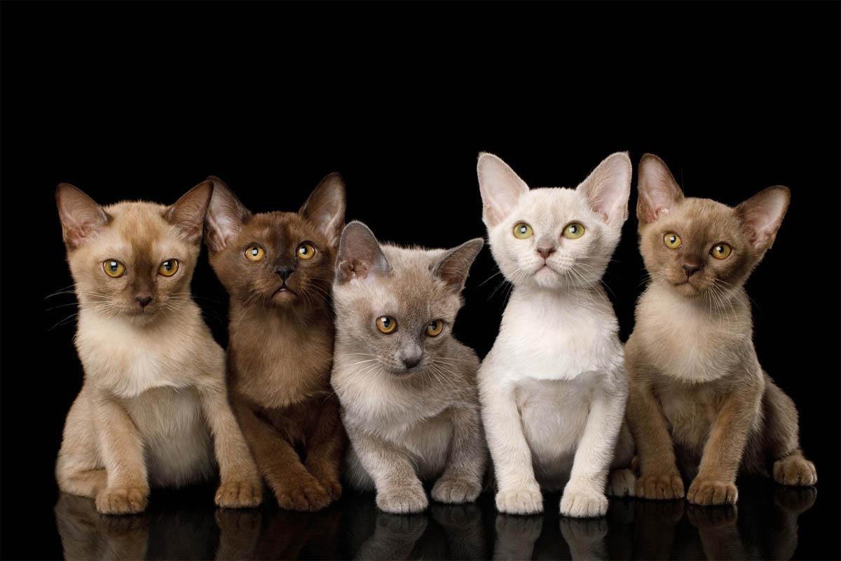 Litter of Burmese kittens