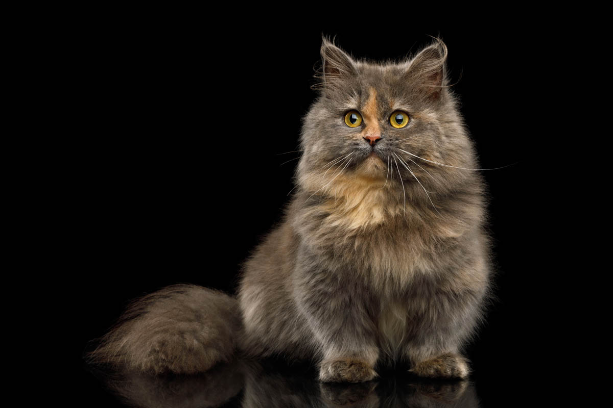Longhaired Munchkin cat