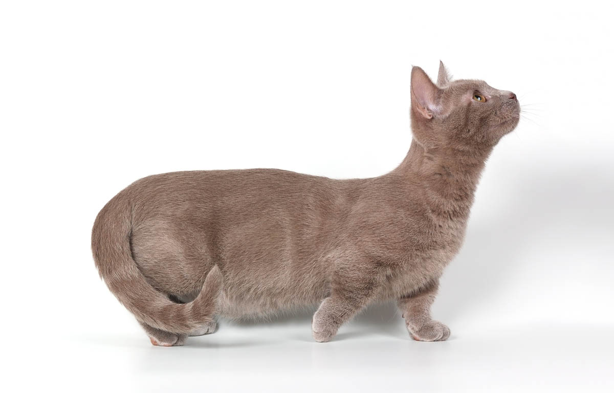 Munchkin cat breed profile