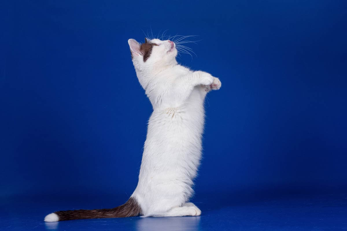 Munchkin cat standing on its hind legs