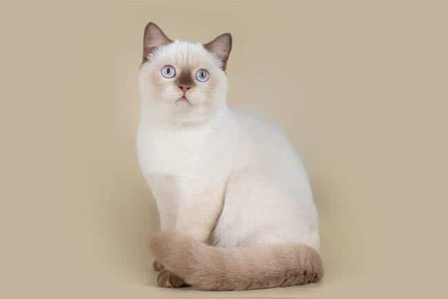 Pointed British Shorthair cat