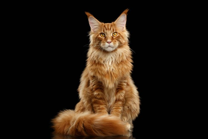 Red Maine Coon