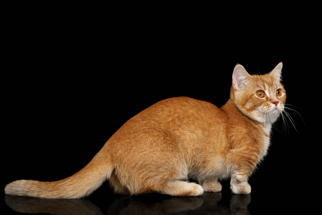 Red ticked munchkin cat