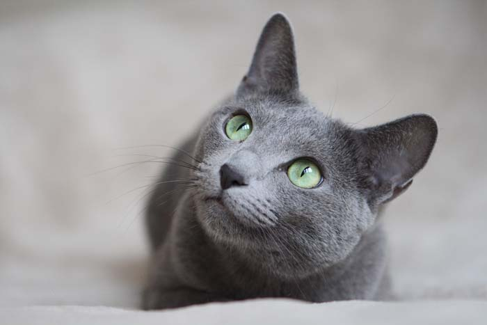 8 Hypoallergenic Breeds of Cat 1