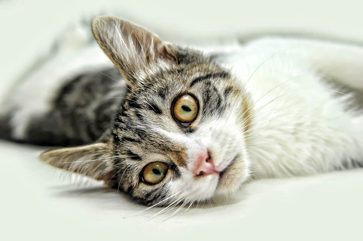 Skin lesions in cats