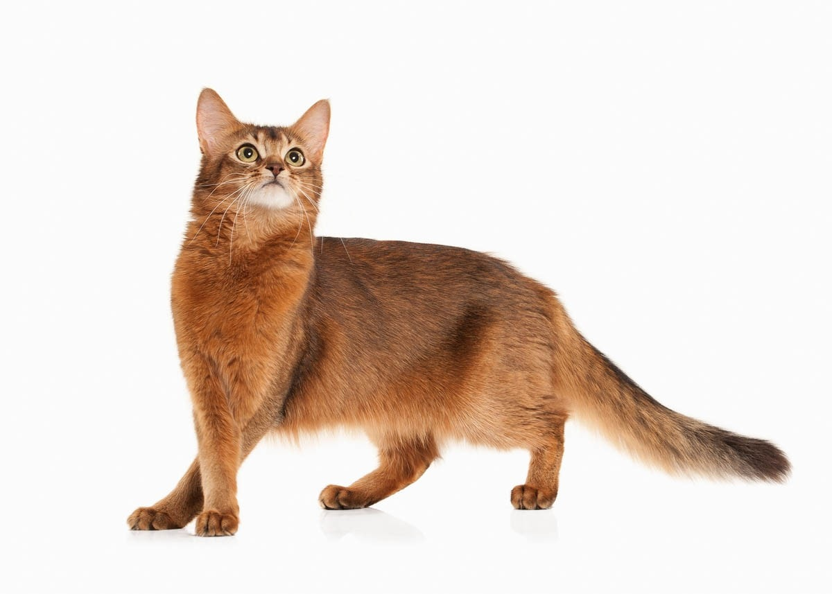Somali cat history