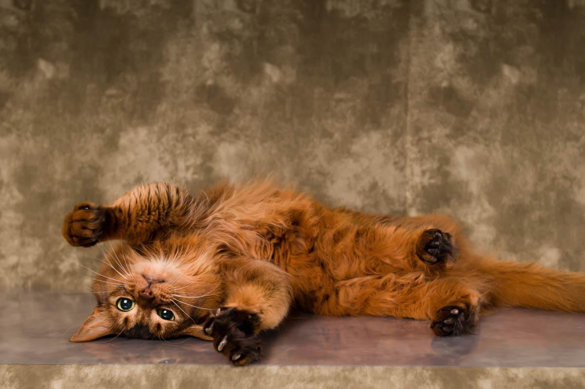 Somali cat temperament
