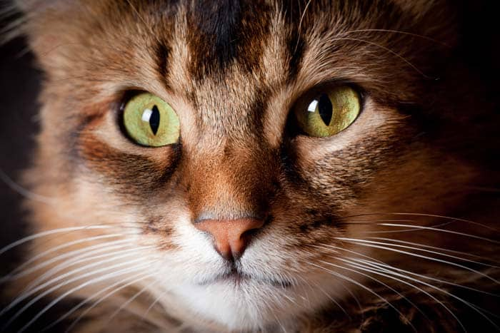 Somali cat close up