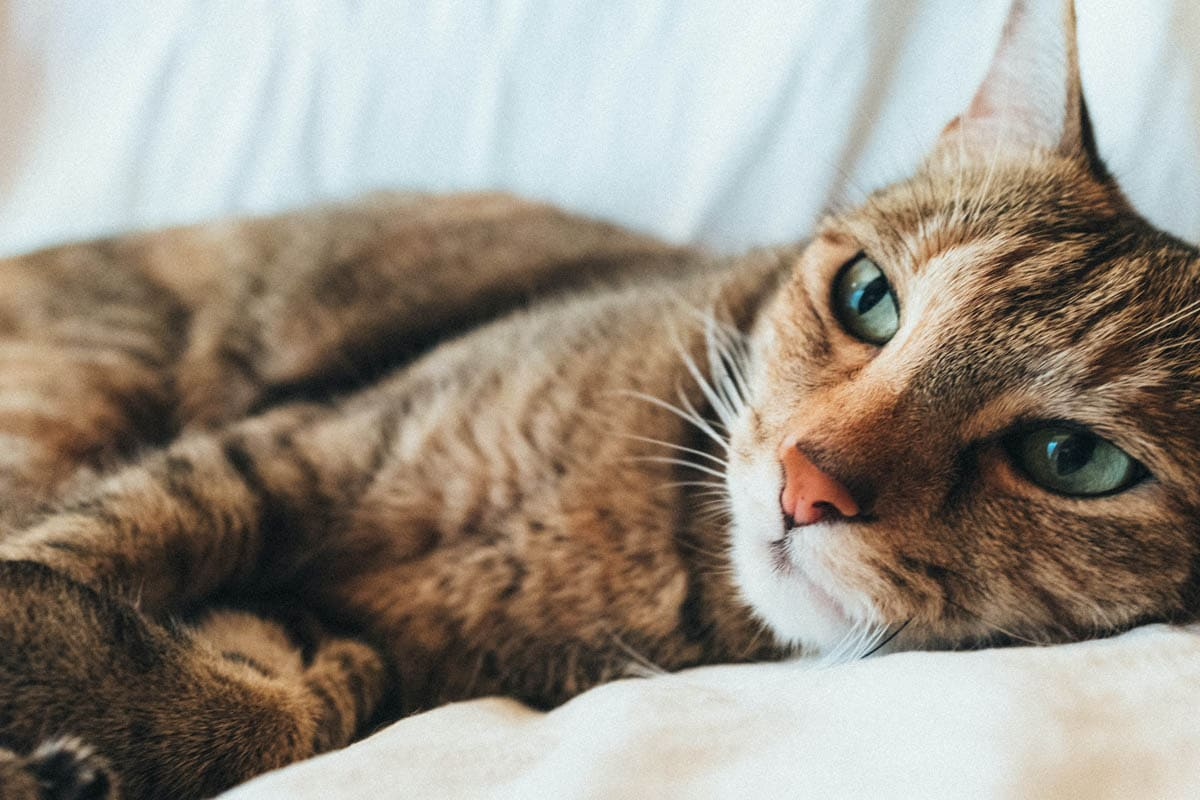 Thiamine deficiency in cats