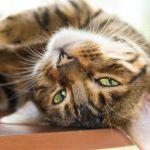Striped Cat Breeds