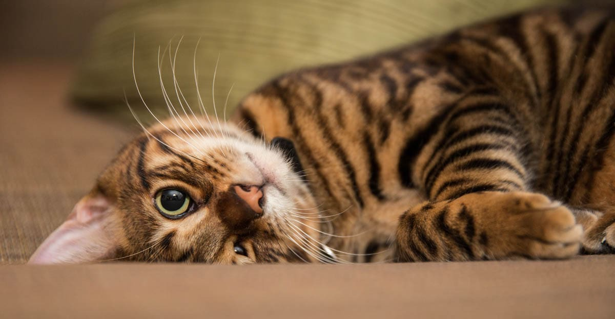Toyger cat breed profile