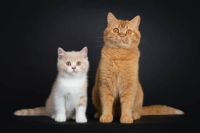 Two British Shorthair cats