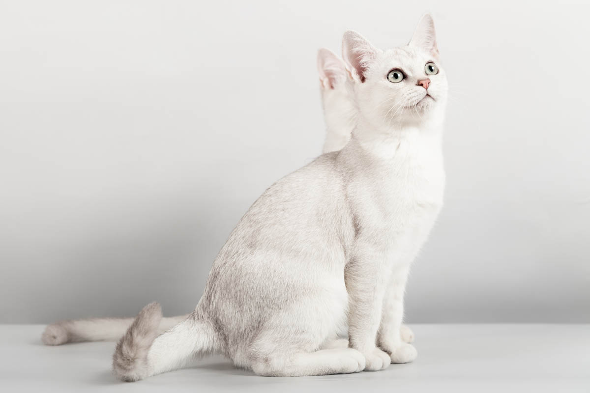 Burmilla cat breed profile