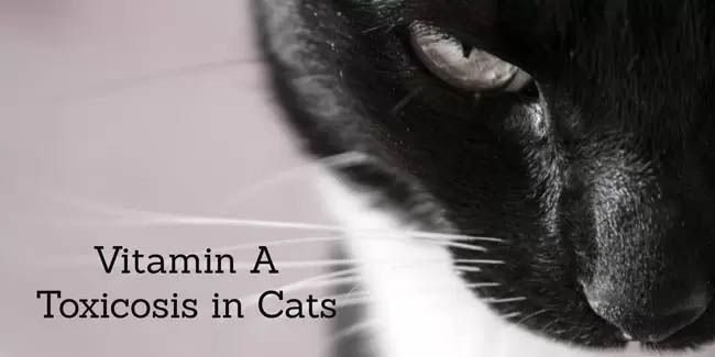 Vitamin A toxicity in cats