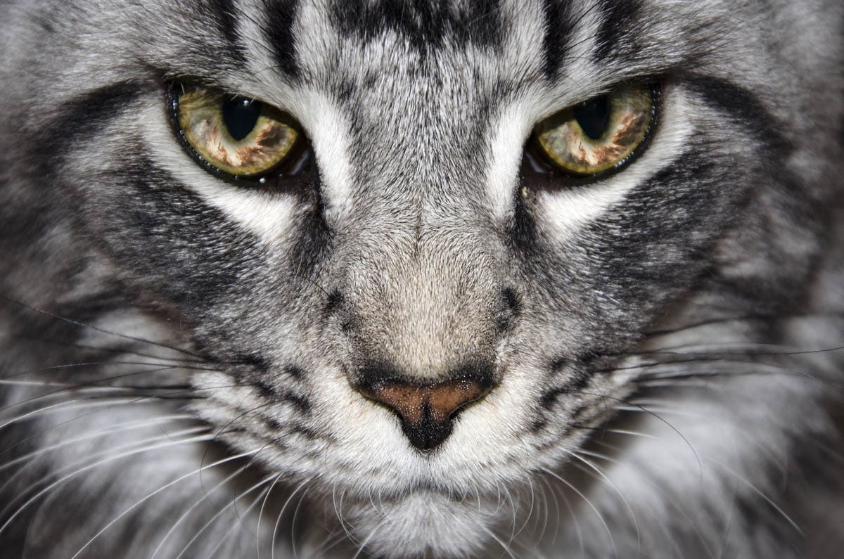 Vitamin A toxicosis in cats